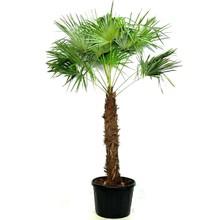 Trachycarpus waaierpalm Kingsize