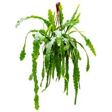 Epiphyllum oxypeltatum