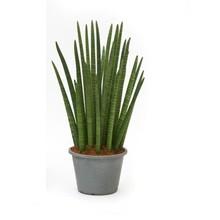 Sansevieria Cylindria XL