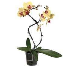 Orchidee Tornado geel