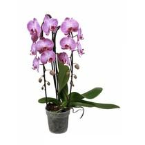 Orchidee Cascade roze
