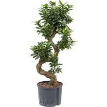 Hydroplant Ficus microcarpa bonsai