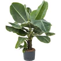Hydroplant Musa dwarf