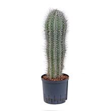 Hydroplant Pachycereus cactus