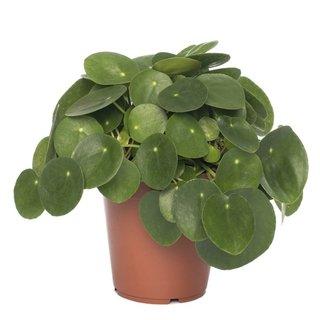 Pannenkoekplant