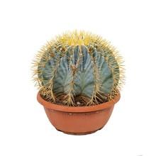 Ferocactus Bol