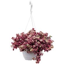 Crassula red hangplant