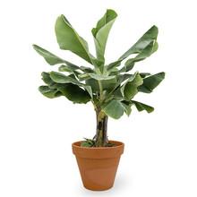 Bananenplant in Terra Cotta XL