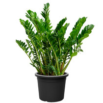 Zamioculcas Duinplant large