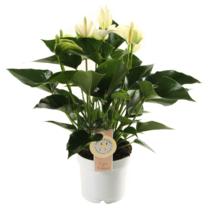 Anthurium White Champion medium