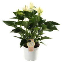 Anthurium White Champion M