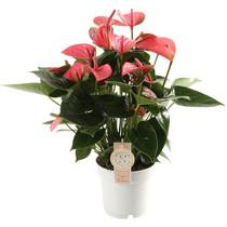 Anthurium Pink Champion medium