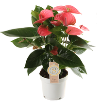 Anthurium Pink Champion small