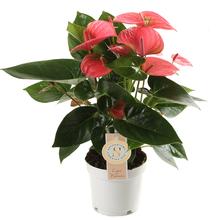 Anthurium Pink Champion S