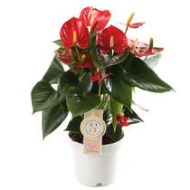 Anthurium Royal Red S