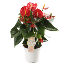 Anthurium Royal Red small