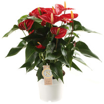 Anthurium Royal Red medium