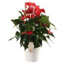 Anthurium Royal Red L