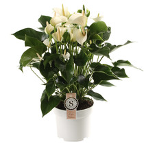 Anthurium White Champion L