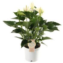 Anthurium White Champion S