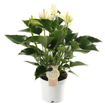 Anthurium White Champion small