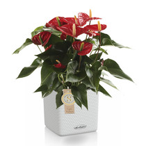 Lechuza Anthurium rood in zelfwatergevende Puro