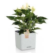 Lechuza Anthurium wit in zelfwatergevende Puro