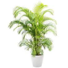 Lechuza Goudpalm in Zelfwatergevende Classico