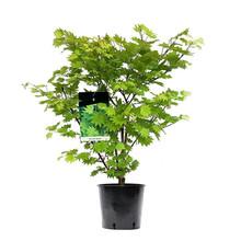 Japanse Esdoorn Acer Aureum M