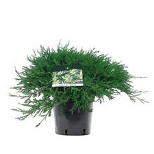 Jeneverbes Juniperus horizontalis agnieszka
