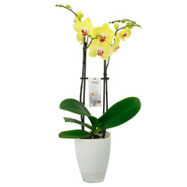 Orchidee Bombay geel