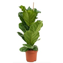 Ficus Lyrata Bambino S