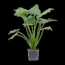 Hydroplant Alocasia cucullata
