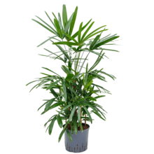 Hydroplant Rhapis