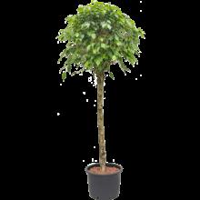 Hydroplant Ficus benjamina