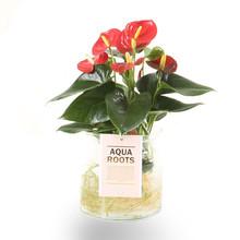 Aqua Roots Red Anthurium