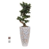 Bonsai in Schelpen Pot Wit Exclusive