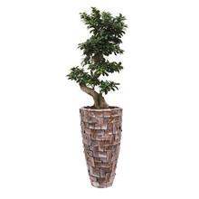 Bonsai in Schelpen Pot Exclusive