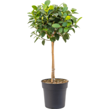 Ficus Australis op stam