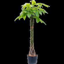 Hydroplant Pachira