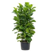 Ficus Lyrata Bambino L