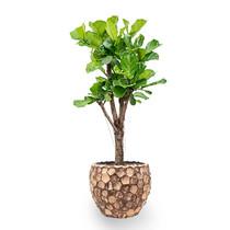 Ficus Lyrata in Facets Coco Rond Pot