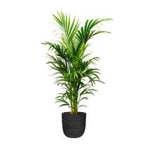 Capi Kentia Palm in Bol Pot