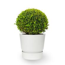 Elho Buxus in greenville pot
