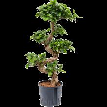 Hydroplant Ficus Microcarpa