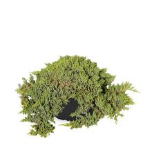 Jeneverbes Juniperus procumbensNana