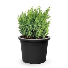 Jeneverbes Juniperus Hulsdonk Yellow