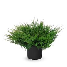 Jeneverbes Juniperus Andorra Compact