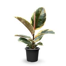 Ficus Elastica Tineke S