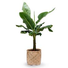 Banananplant Kingsize in Geimpregneerde Mand
